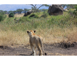 9 Tage Highlight Safari in Tansania - mit Serengeti