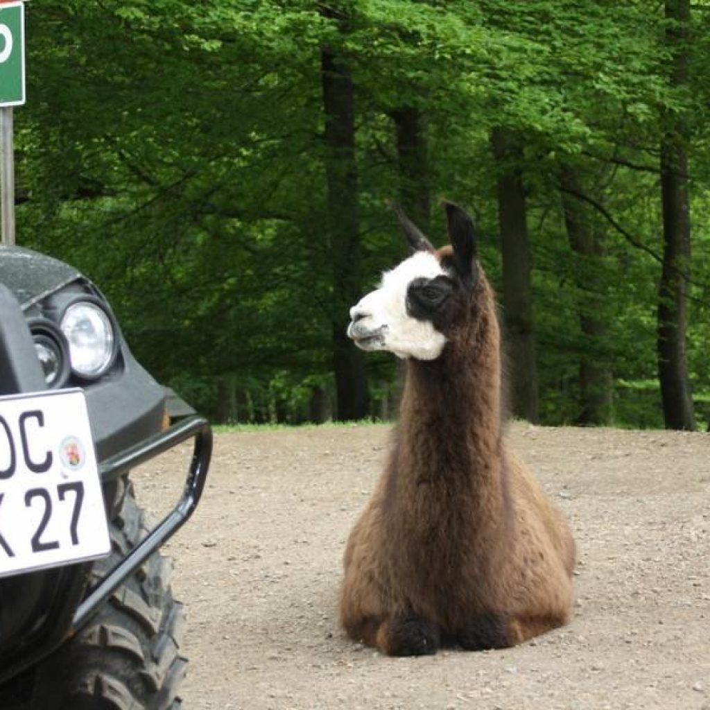 Lama vor Quad im Wildpark